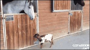 """theperfectworldwelcome: """" tastefullyoffensive: """" Video: Baby Dwarf Goat Adorably Headbutts Horse """" Beautiful !!! \O/ """""""
