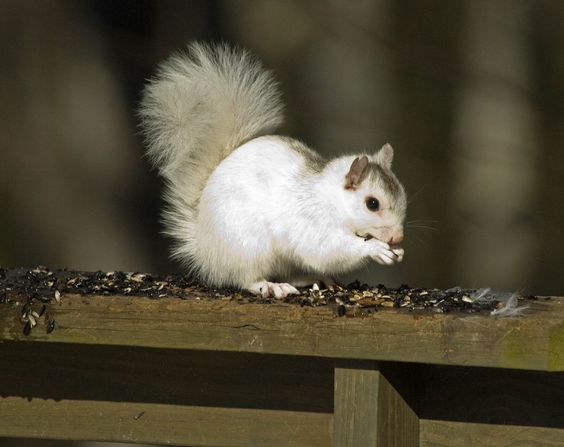We are famous for our White Squirrels. They are not albino. This was taken on our back deck!
