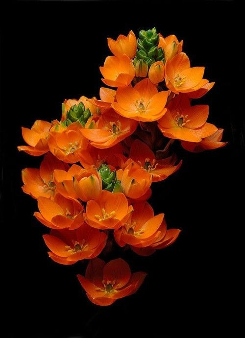 sashastergiou:    tuberose. What a beautiful bright orange flower. Love the shape of this flower... tattoo idea?