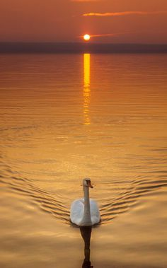 "Swan:  ""Making a Gentle Wake..."""
