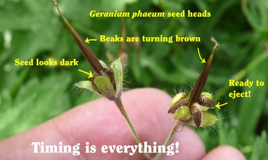 Harvesting Hardy Geranium Seed : Grows on You