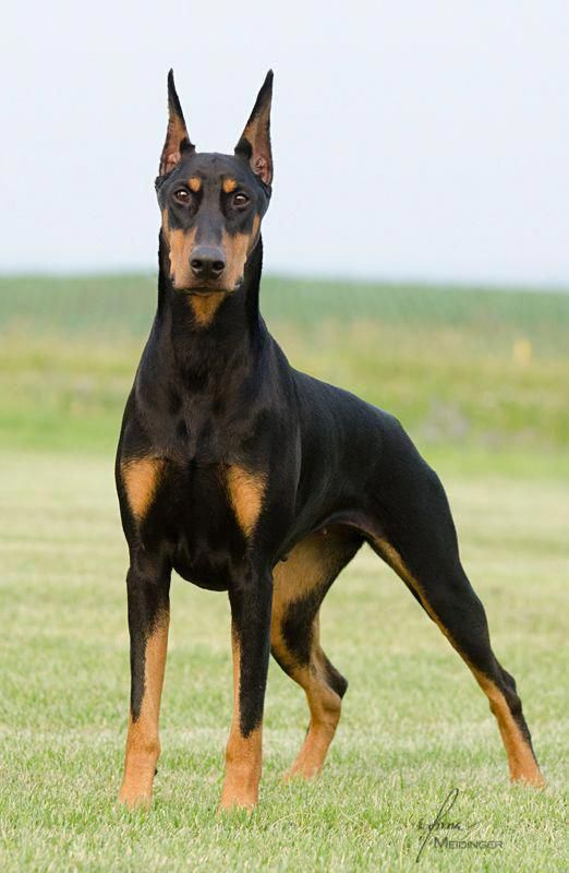 Learn Additional Relevant Information On Miniature Pinscher
