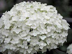 Hortênsia, Flores Brancas, Planta