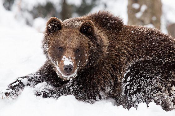 bear in germany by gabor hajdufi animals pinterest. Black Bedroom Furniture Sets. Home Design Ideas
