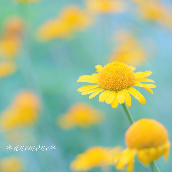 #カモミール#カミツレ#kamille #chamomile#flower