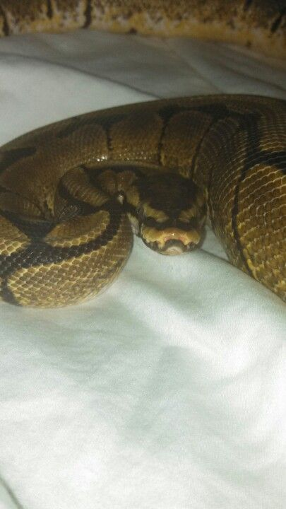 This is Chopper my Python!!! *