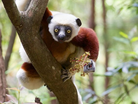 Milne Edward Sifaka #lemurs http://pioneerexpeditions.com/index.php/madagascar-mountains-rivers-pic-boby-to-the-sea/