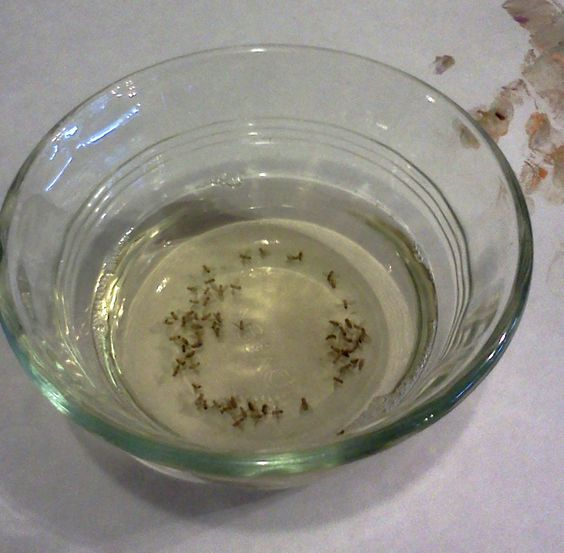 fruit tea fruit flies vinegar