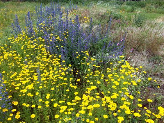 Blau-Gelb-Kontrast: Gemeine Natternzunge (Echium vulgare) und Färber-Hundskamille (Anthemis tinctoria)