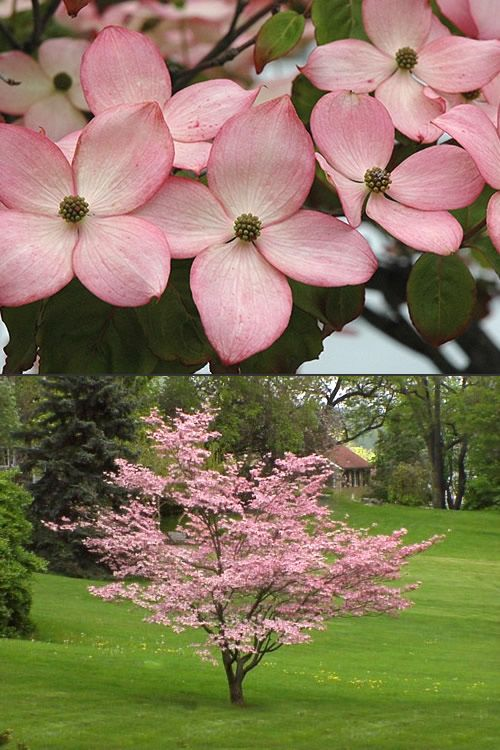 Buy Pink Chinese Dogwood Cornus Kousa Satomi Trees For Sale