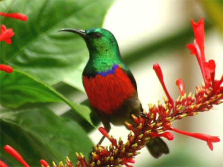 Northern Double Collared Sunbird: