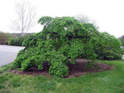 Ulmus glabra Pendula - Pépinières entre Vannes, Ploermel et Redon, Plante de haie, erable, conifere, olivier, palmier - Les Pépinières Eric Duval à MOLAC