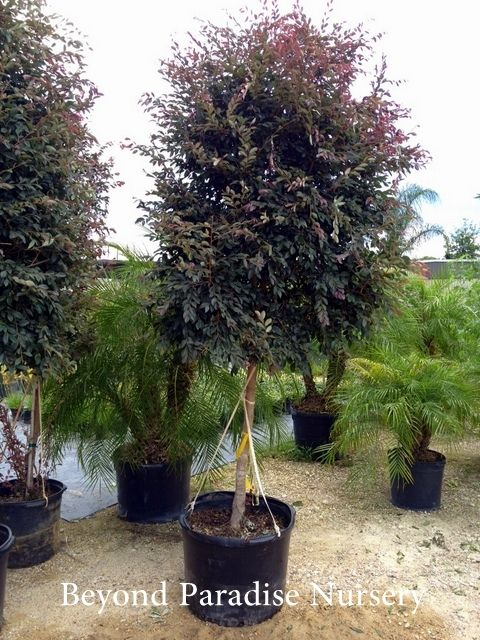 Loropetalum Tree Form Backyard Landscaping Pinterest