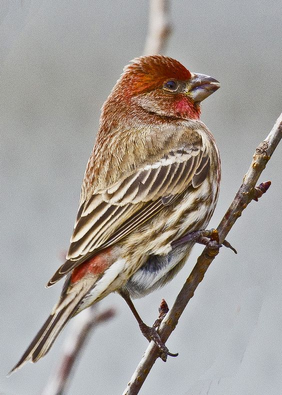House finch (male) by jim Nall