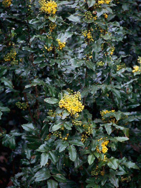 La mahonia es la opción perfecta. Esta especie mantiene su follaje  durante todo el año, para producir delicadas y hermosas flores amarillas durante la primavera. En invierno, la mahonia produce pequeños frutos azules de apariencia similar al arándano.