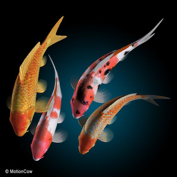 Koi fish max koi fish by motioncow fascinating fish for Japanese koi for sale near me