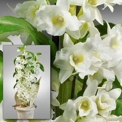 asiatische trauben orchidee im topf pflanzen pinterest. Black Bedroom Furniture Sets. Home Design Ideas