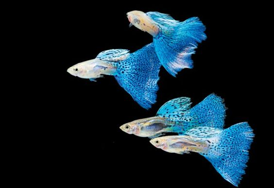 Guppies this is considered a beginners fish because for Easy to take care of fish