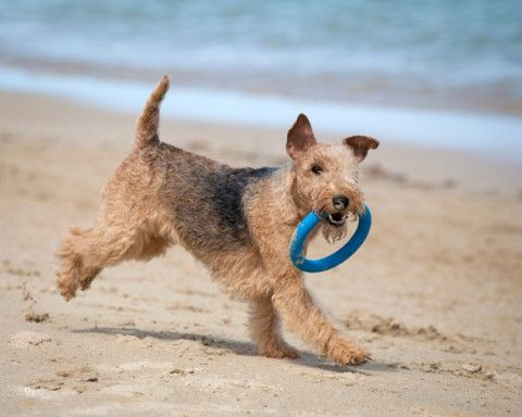 Kineta Lakeland Terriers In 2020 Lakeland Terrier Terrier Dog