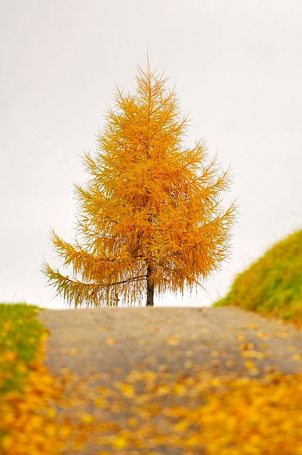 PRETTY.       The golden tree at the end of the way by Tambako the Jaguar, via Flickr