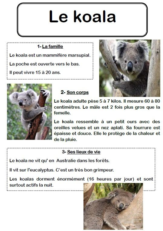 un texte documentaire sur le koala ecole anne sylvestre pouill les coteaux australie. Black Bedroom Furniture Sets. Home Design Ideas