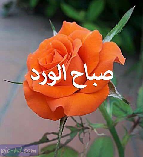 صور صباح الورد للواتساب رمزيات صباح الورد واتس اب Flowers Plants Rose
