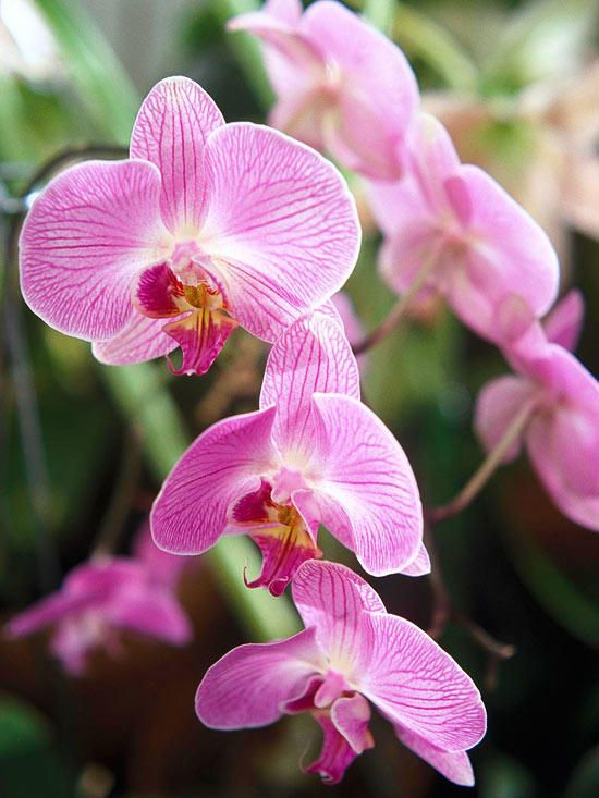 Grow Orchids In Your Home Growing Orchids Orchid Care Orchid Varieties