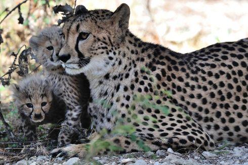 Les bébés guépards de la Réserve africaine sont en pleine forme