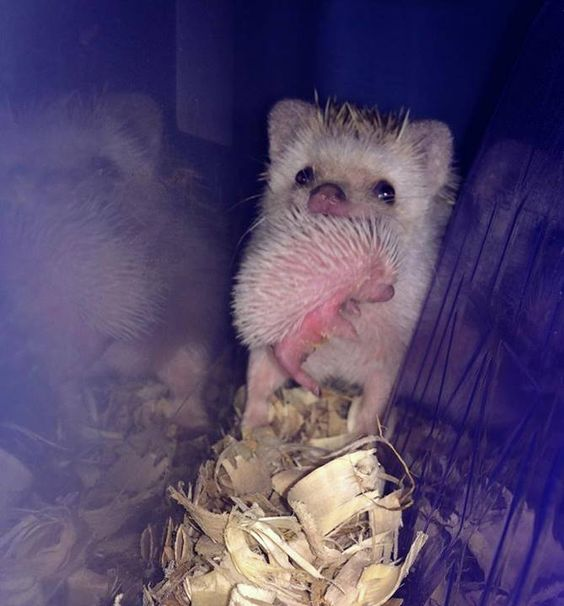"""Volcano View Hedgehogs - """"One of Jinx's babies accidentally ended up outside the nest - it hung on a little too long, still trying to nurse while she left to get some food. I managed to catch a quick photo of her carrying it back inside."""""""