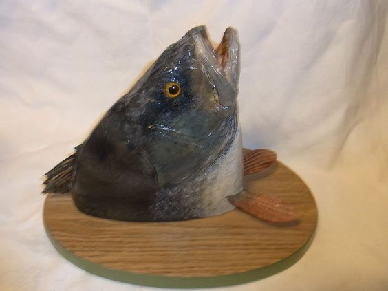Vintage German Fish Taxidermy Mounted on Wood Base # 2