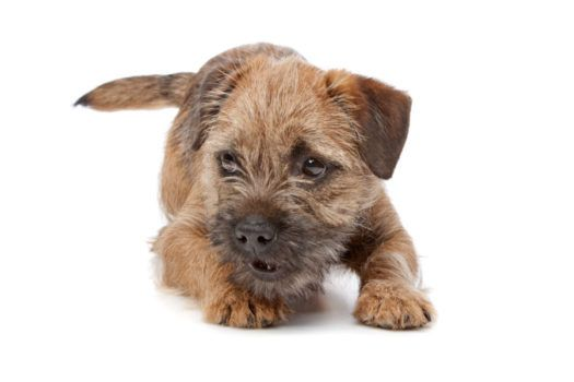 Border Terrier Puppies For Sale Breed Group Terrier Height 11 To