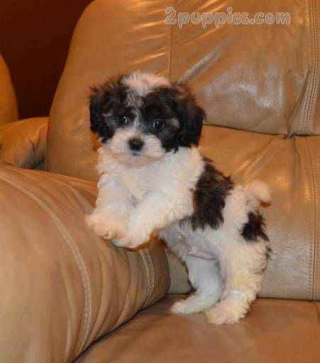 Find Your Dream Puppy Of The Right Dog Breed At With Images Pet Dogs Puppies Puppies Shih Tzu