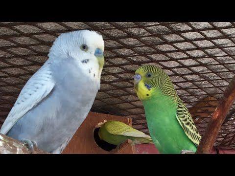 بادجي البادجي طيور البادجي صوت تزاوج بادجي لتحفيزها Youtube Animals Bird Parrot