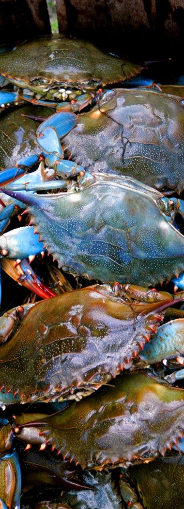 Blue crabs crabs and blue on pinterest for Blue crab fishing