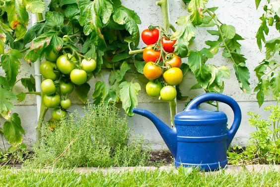 Tomatenverliebt: Die eigene Anzucht ist nicht schwer!
