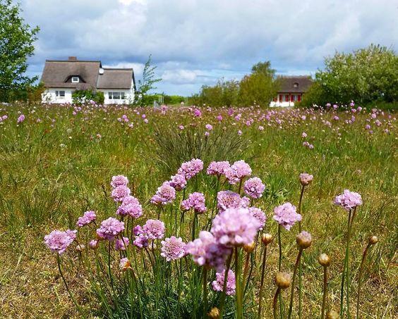 Eine Wiese voller #Grasnelken in Neuendorf.  #hiddensee #armeria #flowerstagram #flowers #flower #beautiful #plants #instaplants #flowersofinstagram #naturelover #natur #hiddenseeforum