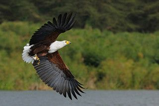 African Fish Eagle | by yychong