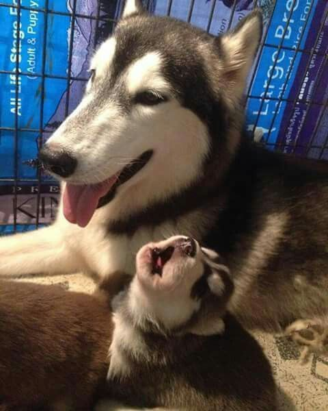 The Mother Is Listening To The Puppy First Baby Huskies Cute