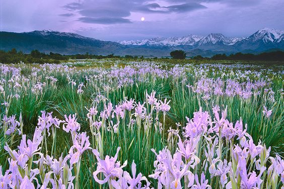 Wild irises, Owens Valley, California.  by Frans Lanting.