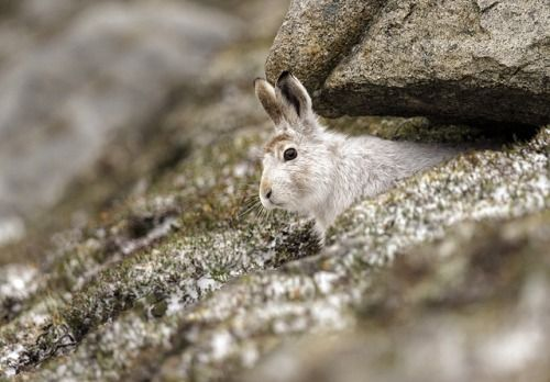 Mountain Hare - is it safe to come out yet? by Margaret J Walker on Flickr.