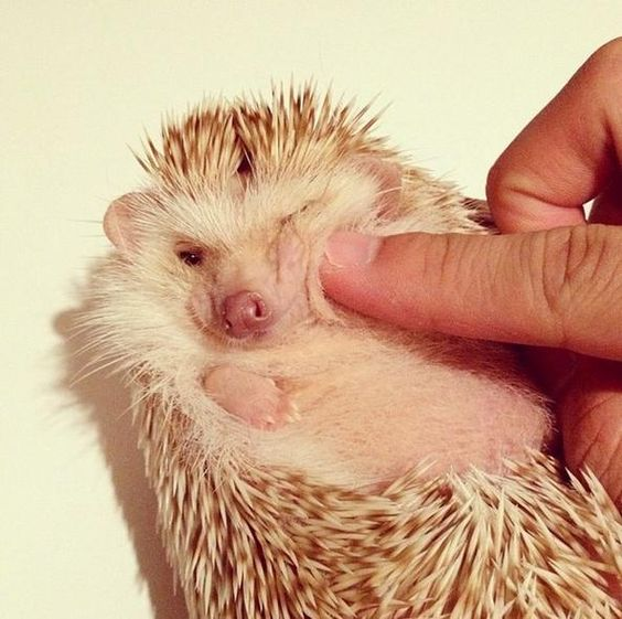 Instagram's Cutest Hedgehog: