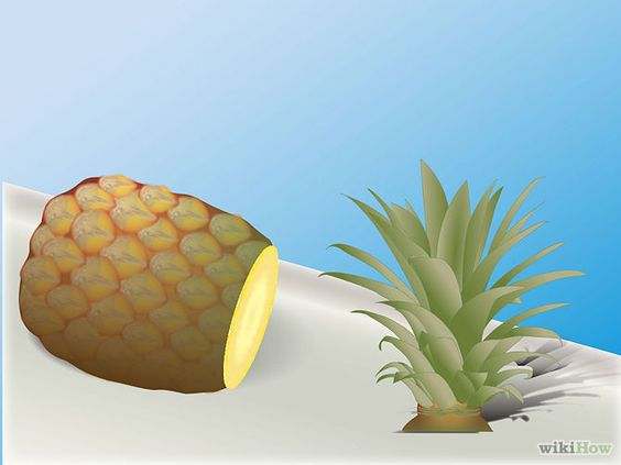 Grow a Pineapple Step 2.jpg