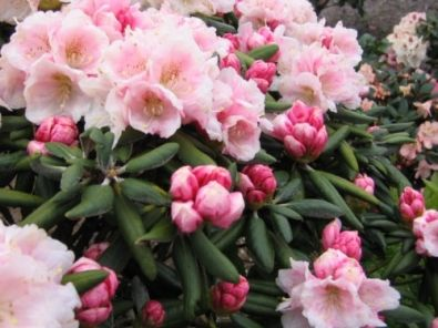Rhododendron (Y) 'Koichiro Wada'