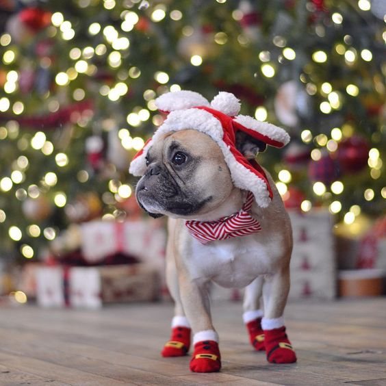 This is one festive Frenchie! www.bullymake.com via: @gusgusinthecity