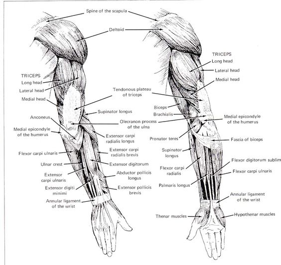 Female Arm Muscle Diagram Google Search 30 Day