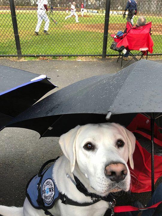 Coty At Baseball Staying Dry Labrador Retriever Labrador