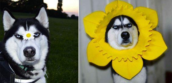 Instagram: Grumpy Dog wird zum Internetstar #News #Unterhaltung