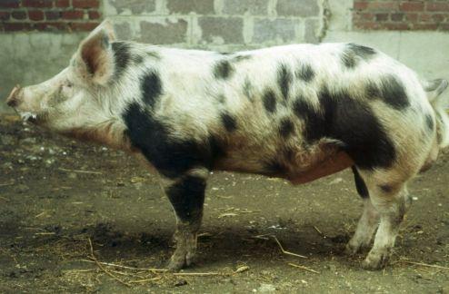 race porcine Pietrain