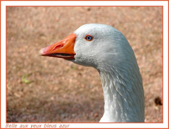 Belle oie aux yeux bleus. Beautiful goose with the blue eyes.