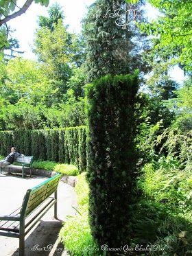 Tall Narrow Growing Irish Yew Privacy Hedge Hedging